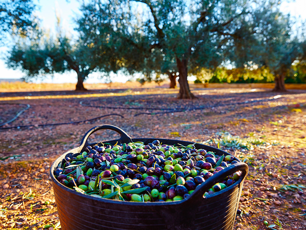 VINEYARDS AND OLIVE OIL MILLS
