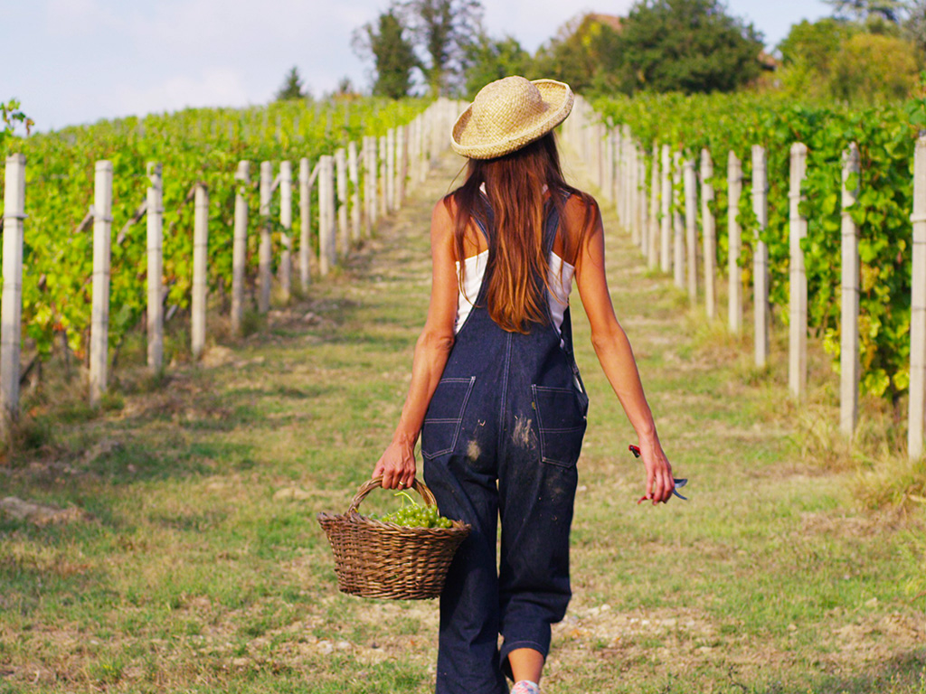 GRAPE HARVEST IN A COUNTRY FARM